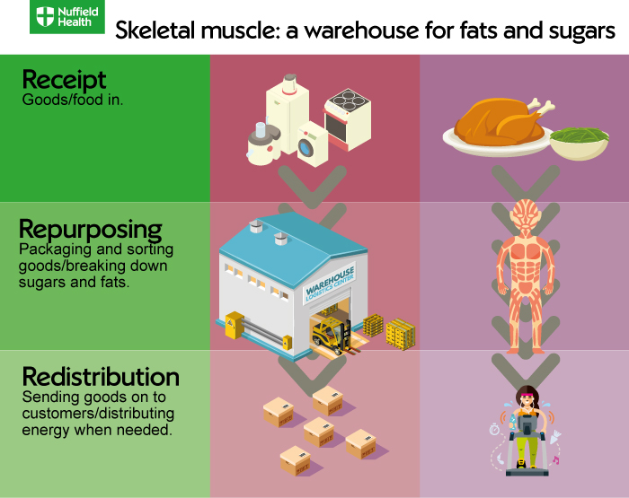 Skeletal Muscle Metabolism